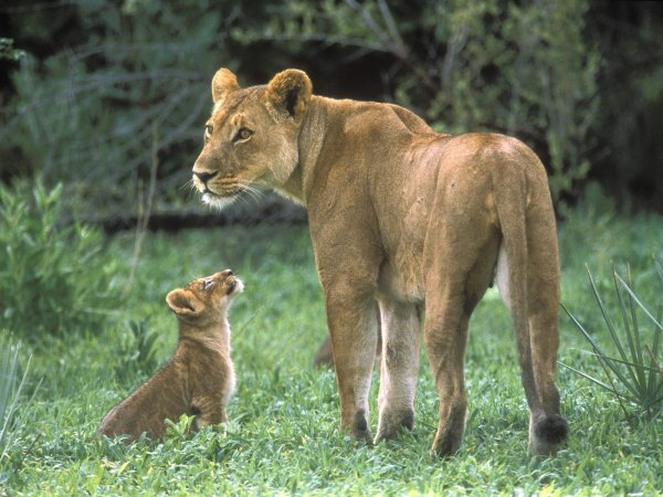 indian animals of female lion with baby